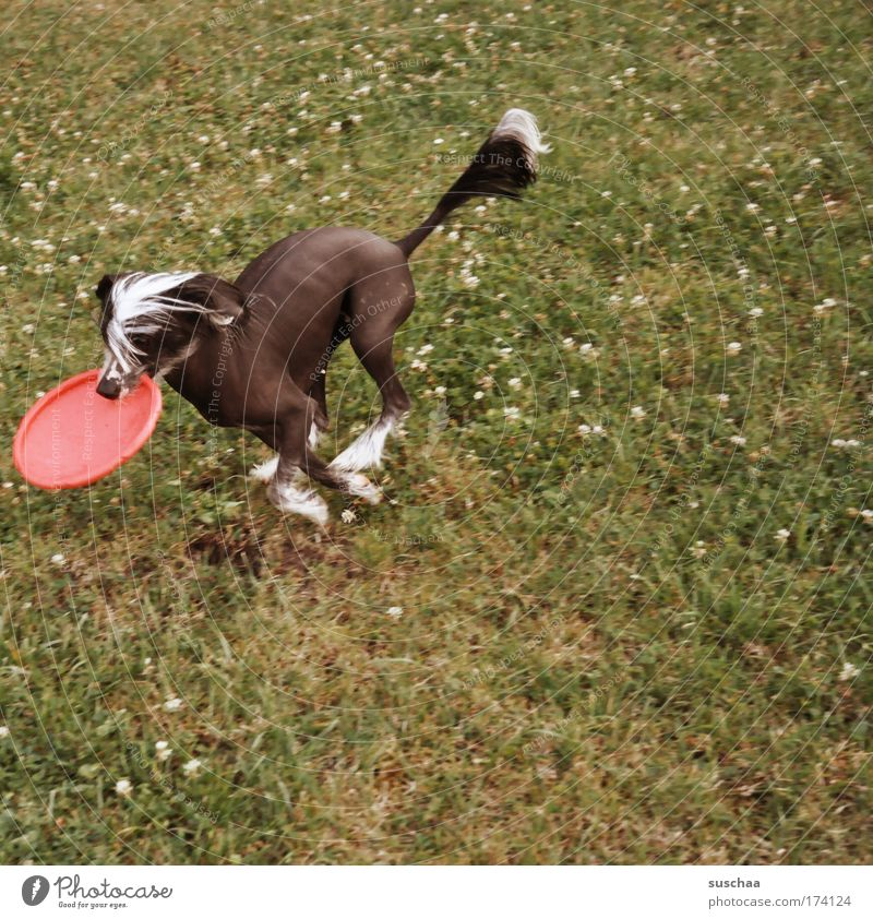 frisbee-dog Subdued colour Exterior shot Copy Space right Animal portrait Life Summer Garden Meadow Pelt Pet Dog 1 Fitness Running Romp Playing Escape Frisbee