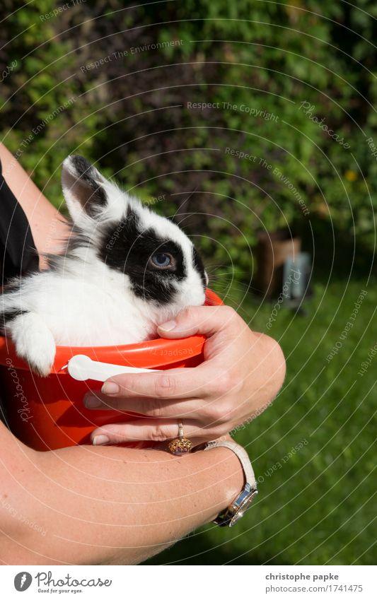 Hare is in the bucket Garden Animal Pet Animal face Pelt Paw 1 Carrying Curiosity Cute Hare & Rabbit & Bunny Bucket Fatigue Colour photo Exterior shot
