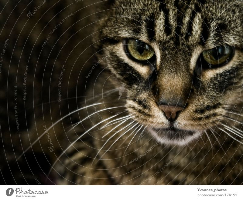 In the dark Colour photo Interior shot Shadow Contrast Animal portrait Looking Pelt Pet Cat Animal face Tabby cat Observe Feeding Threat Dark Brown Black