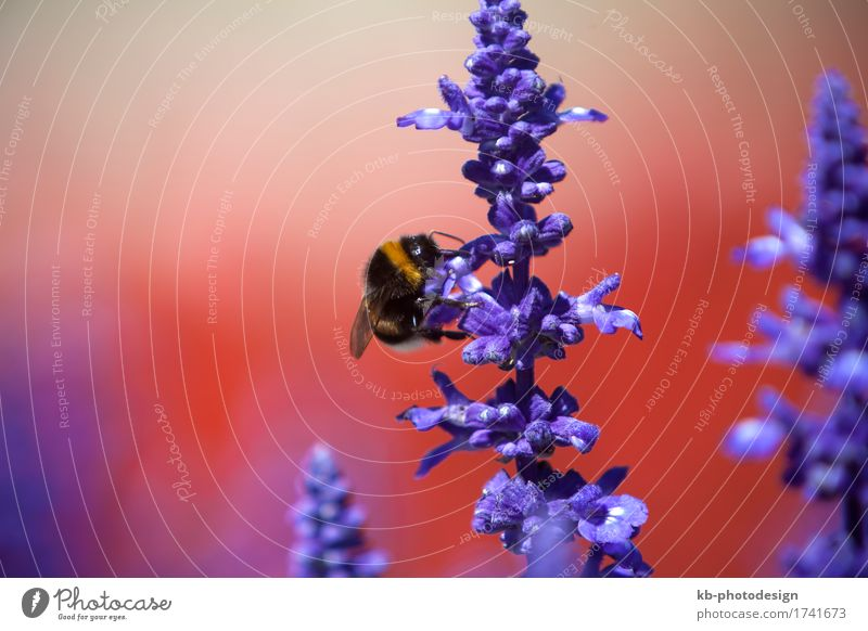 Closeup of a bumblebee in a field of purple salvia Summer Nature Flower Wild animal Bumble bee 1 Animal Drinking insect ornamentally speaking Sage flowers plan