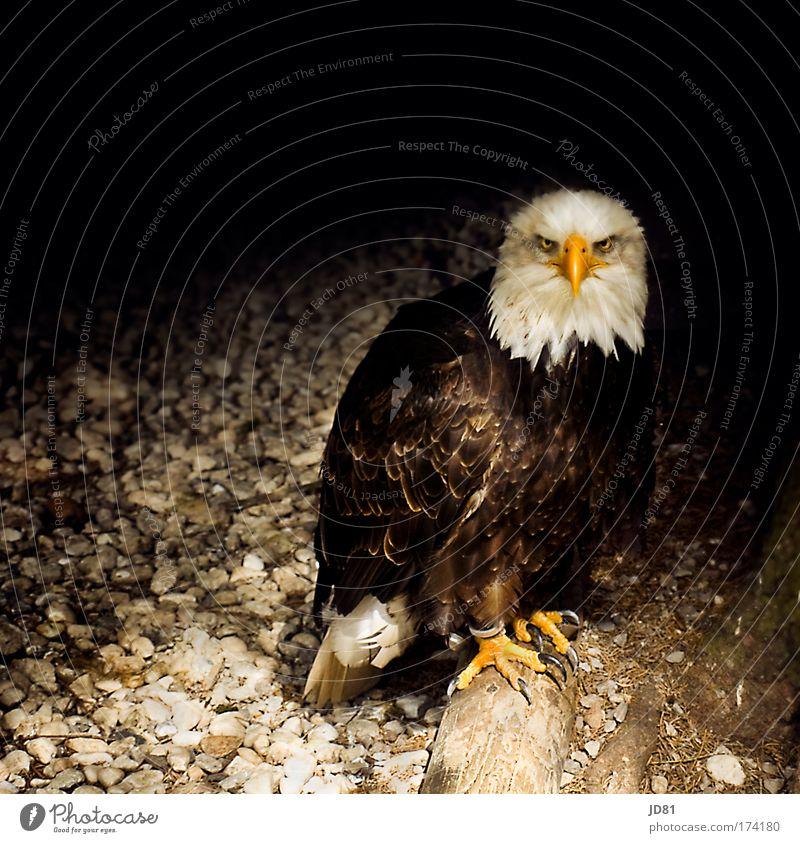 Animal Dark Bird Threat Concentrate Wild animal Beak Eagle Coat of arms Bird of prey Heraldic animal