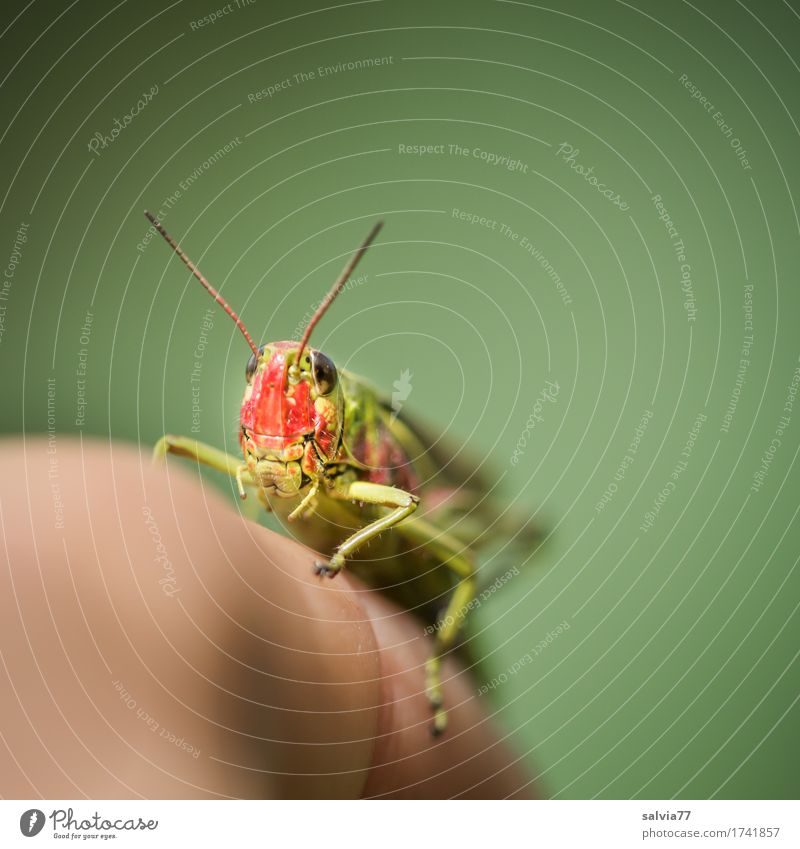 Cheeky Hopper Fingers Environment Nature Animal Wild animal Animal face Insect Locust Feeler 1 Observe Crawl Athletic Small Curiosity Speed Green Contact Ease