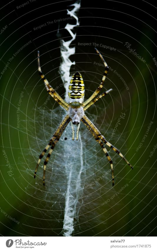 zigzag Environment Nature Animal Wild animal Spider Net Spider's web 1 Observe Catch Hunting Crawl Wait Exceptional Disgust Watchfulness Patient Endurance Fear