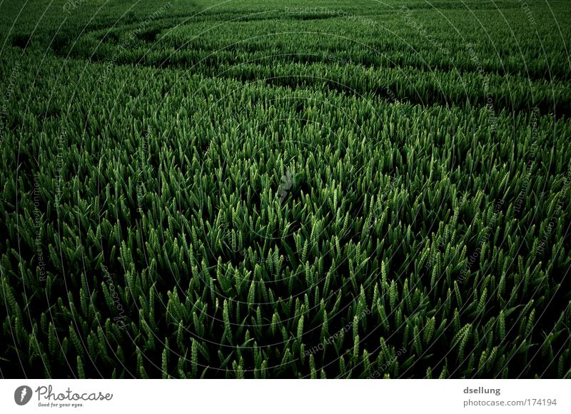 Nature Green Plant Spring Landscape Field Environment Grain Grain field Agricultural crop Grain harvest