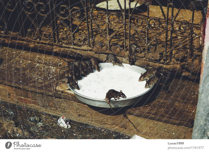 Animal Wall (building) Eating Wall (barrier) Food Dirty Wild animal Group of animals Drinking Creepy Feces Bowl To feed India Flock Disgust