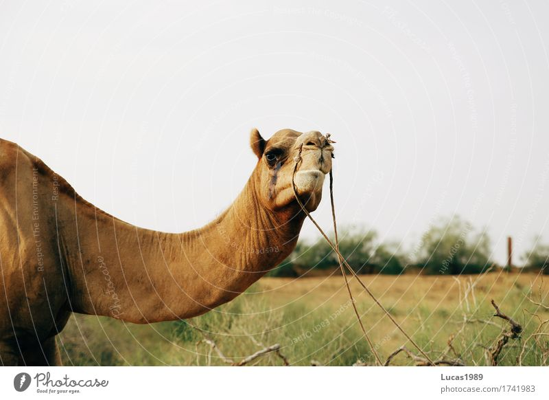 camel look Vacation & Travel Tourism Trip Adventure Far-off places Safari Expedition Summer Summer vacation Sun Environment Nature Sand Grass Bushes Waves India