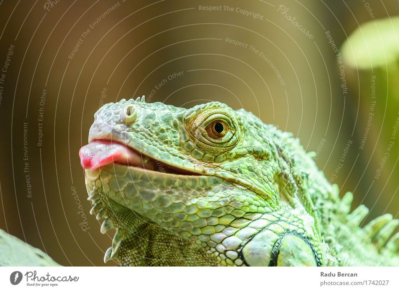 Green Iguana Portrait Environment Nature Animal Wild animal Animal face 1 Observe Hunting Communicate Crawl Looking Multicoloured Red Colour Lizards Reptiles