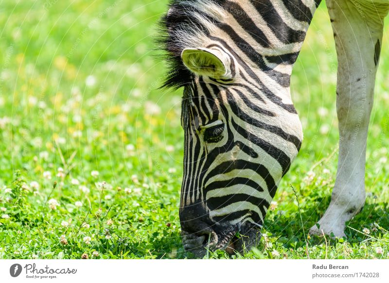Wild Zebra Grazing On Fresh Green Grass Field Nature Colour Beautiful White Animal Black Environment Eating Natural Healthy Freedom Wild animal Simple