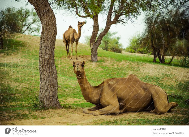 camels Vacation & Travel Tourism Trip Adventure Far-off places Safari Expedition Summer Summer vacation Sunbathing Environment Nature Landscape Sand