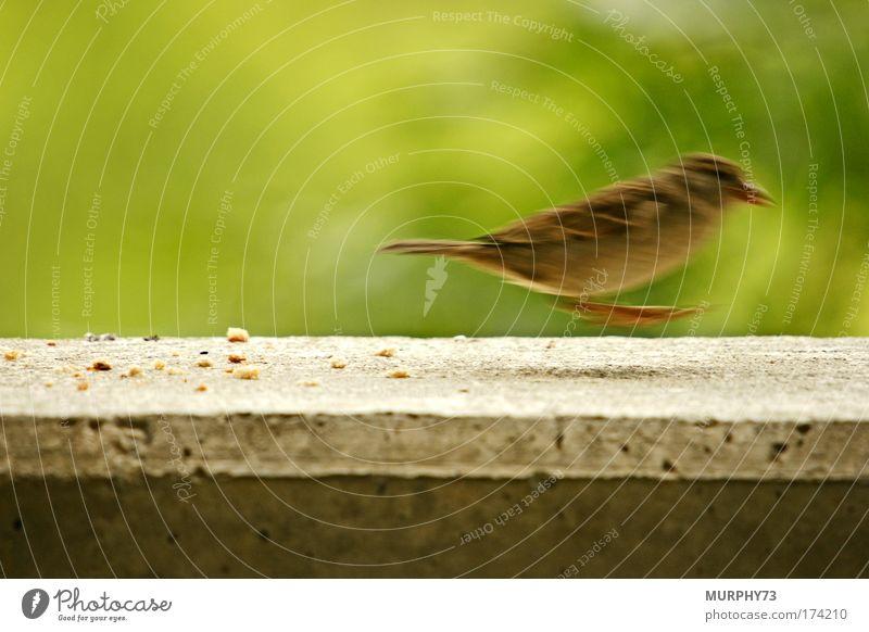 Nature Green Animal Environment Movement Gray Jump Bird Brown Feeding Hop Sparrow Crumbs Food Concrete wall Passerine bird