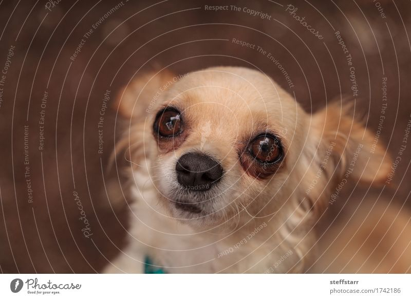 Tan cream colored Chihuahua puppy Dog Loneliness Animal Brown Fear Pet Animal face Safety (feeling of)