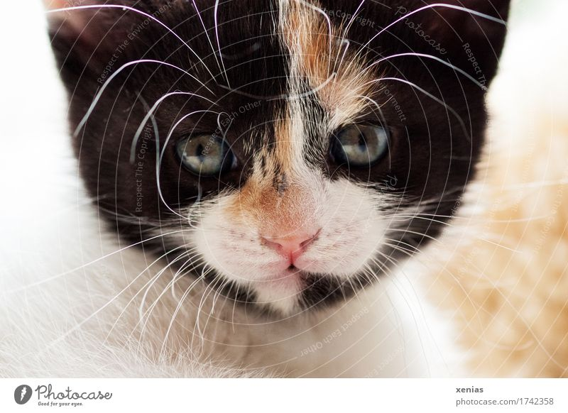 Cat looks into camera Animal face Pelt Domestic cat 1 Baby animal Looking Pet Brown Pink Black White Looking into the camera Cat eyes Animal portrait Whisker
