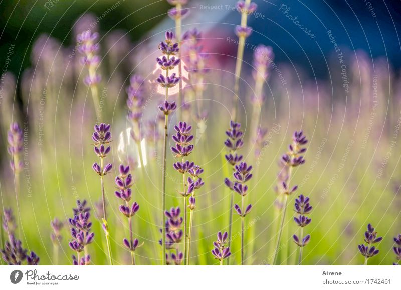lavender's blue II Herbs and spices Plant Beautiful weather Flower Lavender Blossoming Fragrance Healthy Glittering Good Blue Green Violet Nature Growth