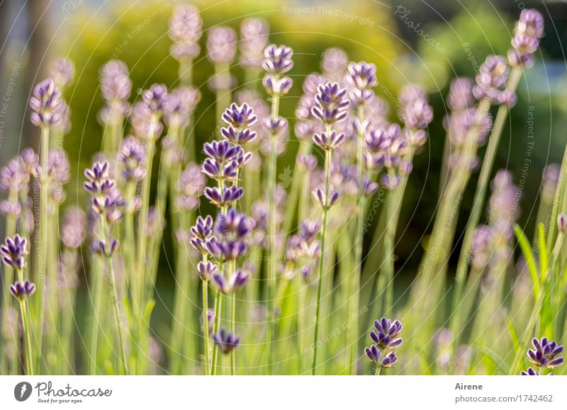 Where are the days...? Herbs and spices Plant Summer Beautiful weather Flower Lavender Lavender field Garden Meadow Blossoming Fragrance Healthy Natural Dry