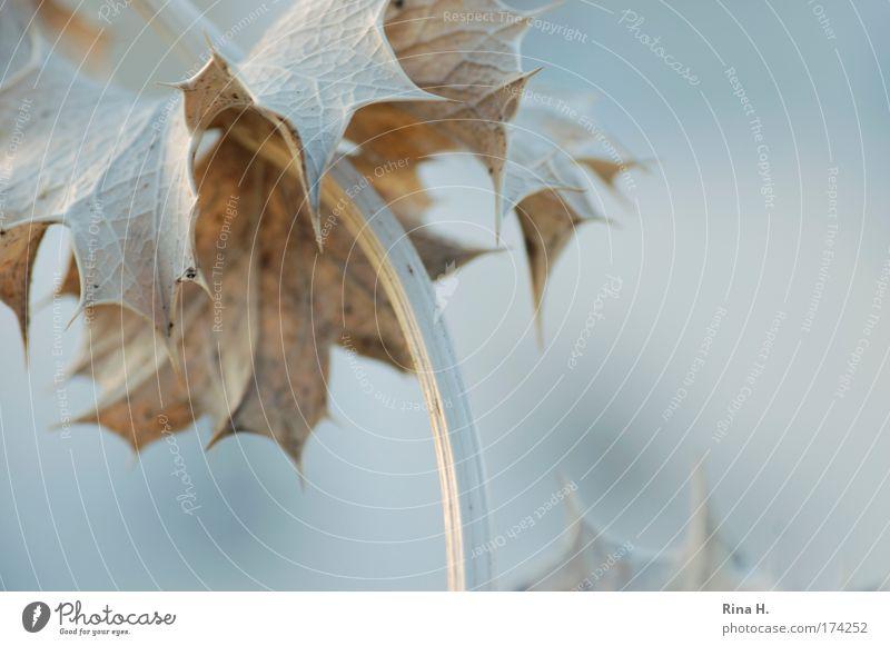 Blue Plant Leaf Gray Power Fog Esthetic Soft Pain Dry Fight Pallid Converse Vessel Shriveled Thorny