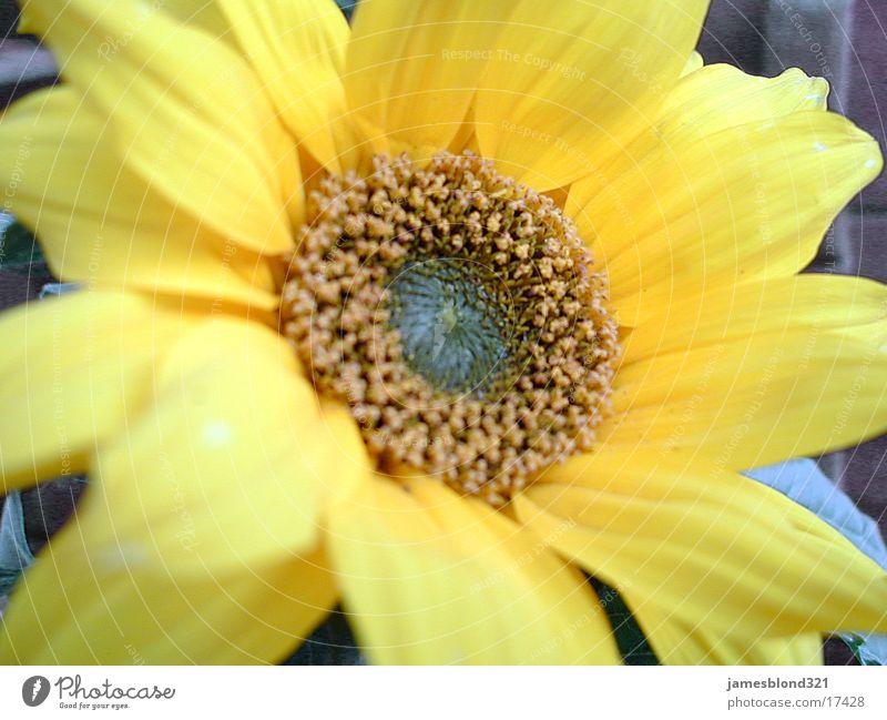 Flower Blossom Sunflower Blossom leave