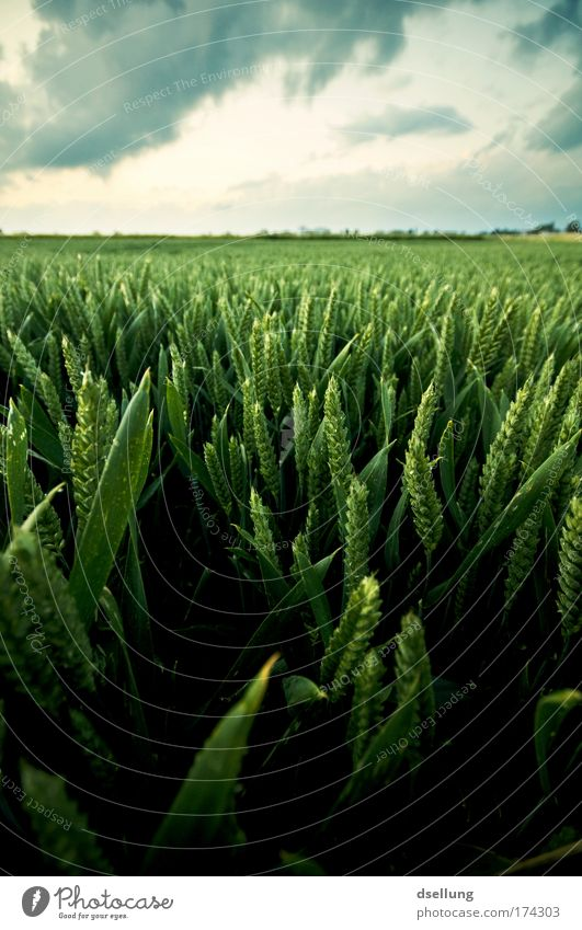 Grain field in lush green with cloudy sky Colour photo Exterior shot Deserted Copy Space top Evening Shadow Contrast Deep depth of field Wide angle Environment