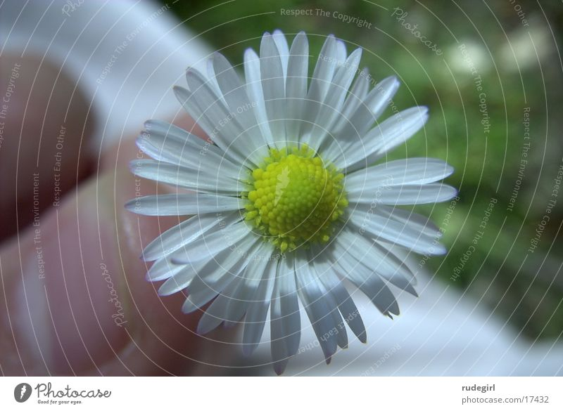 daisies Flower Nature Close-up Beautiful weather