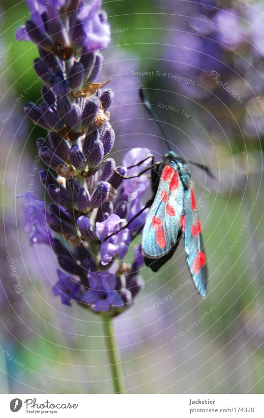 Old butterfly. Colour photo Exterior shot Macro (Extreme close-up) Day Blur Nature Landscape Plant Summer Lavender Animal Wild animal Butterfly 1 Esthetic