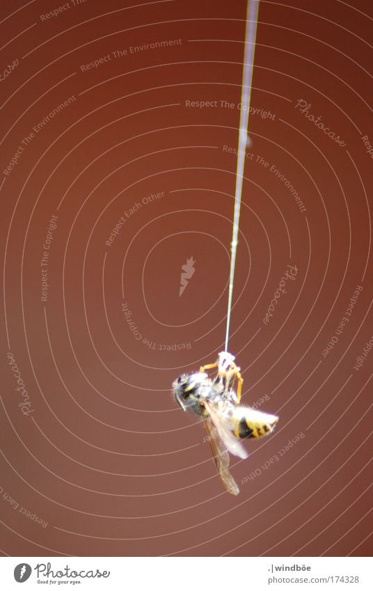 At the silk thread Colour photo Exterior shot Close-up Deserted Evening Central perspective Long shot Animal Wild animal Dead animal Bee Wasps 1 Hang To swing