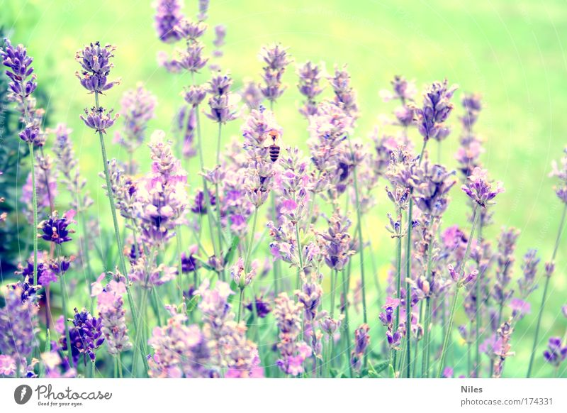 """honey collector Colour photo Exterior shot Deserted Day Nature Summer Plant Bee 1 Animal Work and employment """"Collect,"""" Lavender Play of colours Violet"""