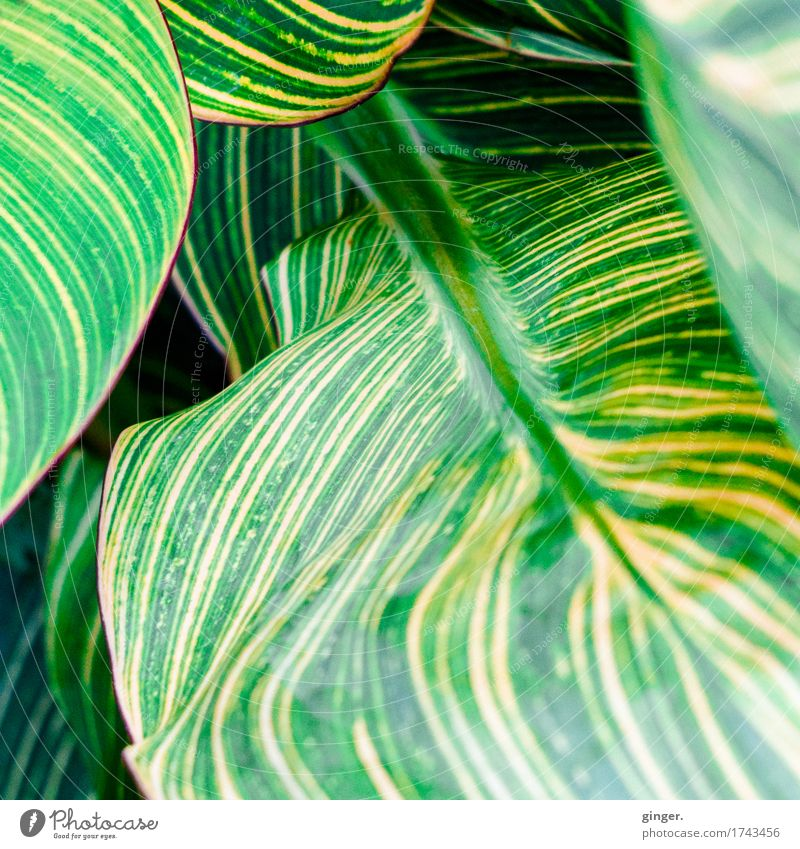 Leaf Ballooning Nature Plant Summer Yellow Green Striped Bordered Auburn Undulating Waves Rachis Multiple Detail Consecutively Movement Against each other Line