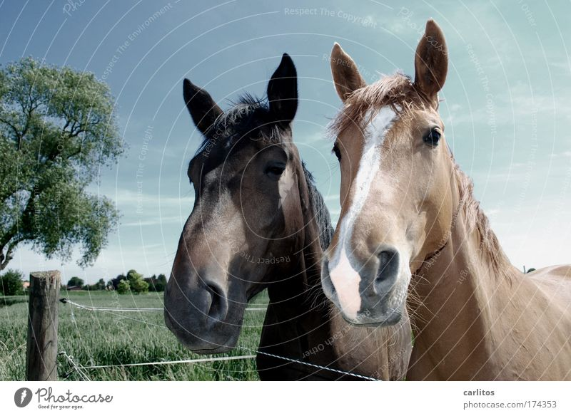 The Double Hottchen Wide angle Looking into the camera Harmonious Ride Freedom Meadow Village Horse Pelt 2 Animal Observe Esthetic Elegant Friendliness