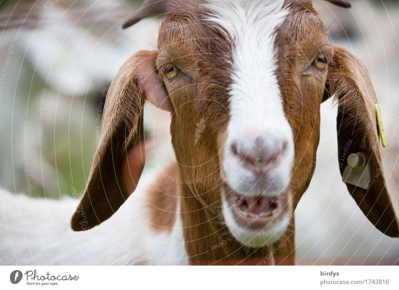 Announcement Farm animal Goats 1 Animal To talk Funny Curiosity Positive Brown White Love of animals Life Grouchy Advice Uniqueness Communicate Contact