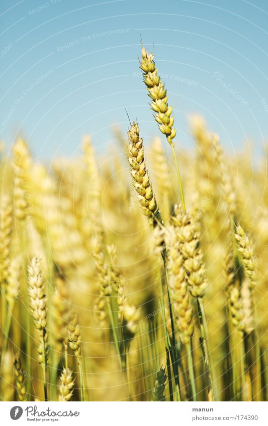 whole grain Food Grain Cereals Organic produce Healthy Life Organic farming Ecological Environment Landscape Cloudless sky Summer Agricultural crop Wheat