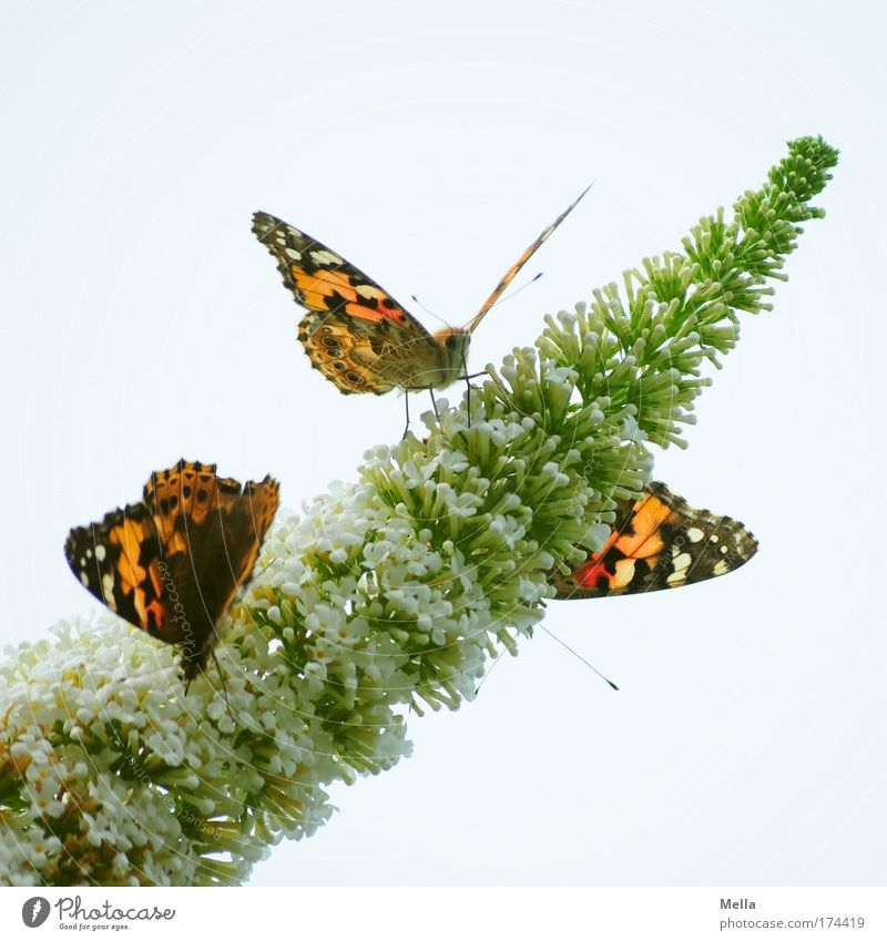 Three kinds of butterfly Environment Nature Plant Animal Spring Summer Bushes Blossom Buddleja Park Wild animal Butterfly Painted lady 3 Blossoming Fragrance