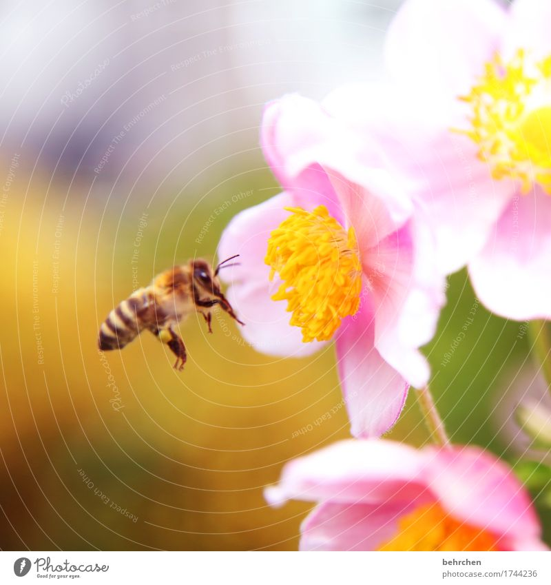Monitor the food supply. Nature Plant Animal Summer Beautiful weather Flower Leaf Blossom Foliage plant Chinese Anemone Garden Park Meadow Wild animal Bee