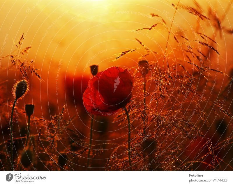 Nature Plant Red Summer Black Poppy Yellow Meadow Blossom Grass Park Sunset Landscape Air Sunrise Bright