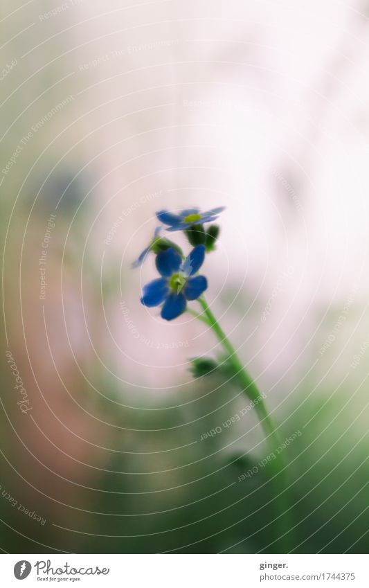 AST9 | Remember Nature Plant Flower Leaf Blossom Pot plant Blue Brown Multicoloured Green Pink Stalk Diffuse Blur Small Delicate Colour photo Subdued colour