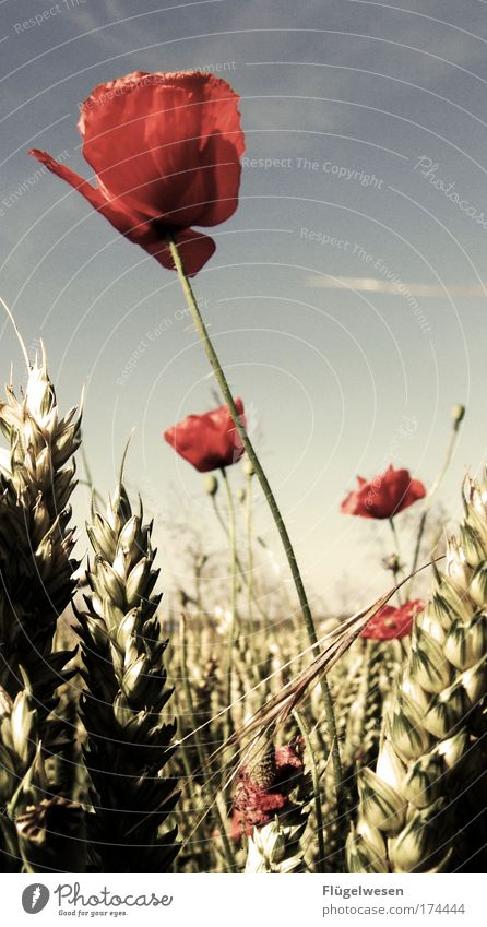 The poppy has risen, the golden ears of corn are shining... Colour photo Exterior shot Day Environment Nature Landscape Sky Summer Plant Bushes Fragrance