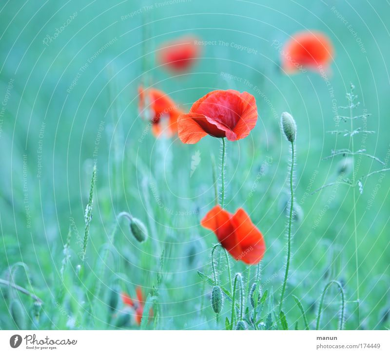 Nature Beautiful Red Summer Calm Relaxation Style Design Environment Esthetic Natural Poppy Turquoise Positive Harmonious Senses