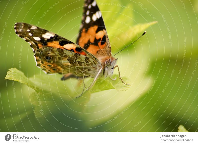 butterfly Colour photo Exterior shot Close-up Day Animal portrait Looking into the camera Nature Sunlight Summer Beautiful weather Leaf Foliage plant Butterfly