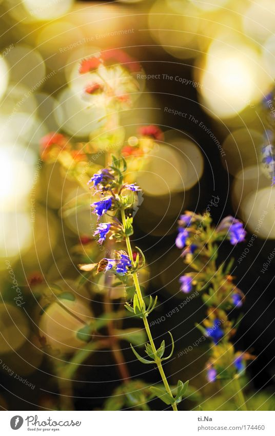Ysop with hoverfly Colour photo Multicoloured Exterior shot Deserted Evening Environment Nature Landscape Plant Animal hyssop aromatic herb Medicinal plant