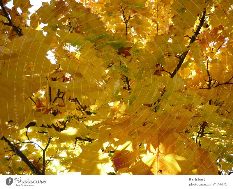 the hanging of the ball during the process of autumn. Design Calm Thanksgiving Environment Nature Sunlight Autumn Tree Leaf Maple tree Maple leaf Park Gold Hang