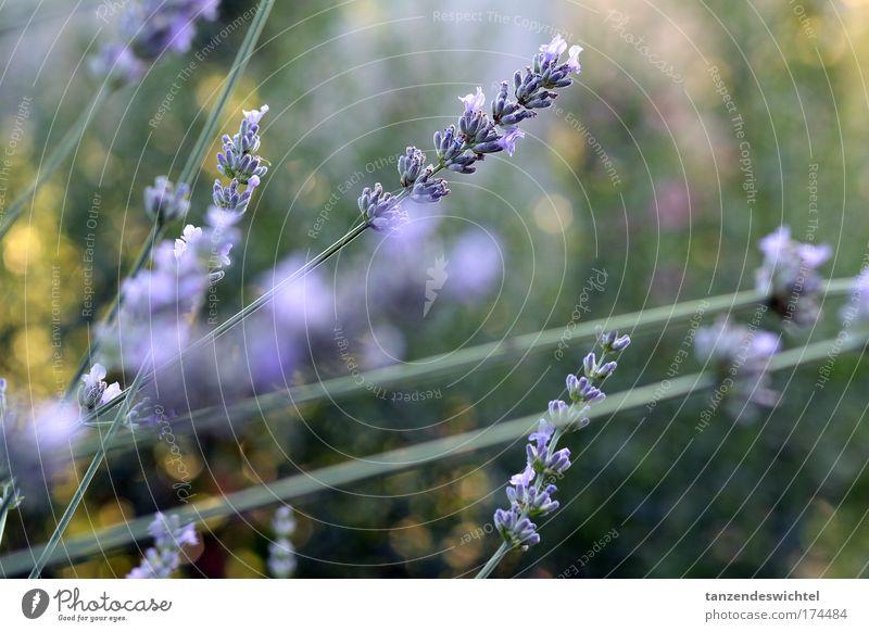 lavender Colour photo Exterior shot Nature Plant Summer Fragrance Natural Green Violet Lavender Flower Stalk Blossom Medicinal plant Day