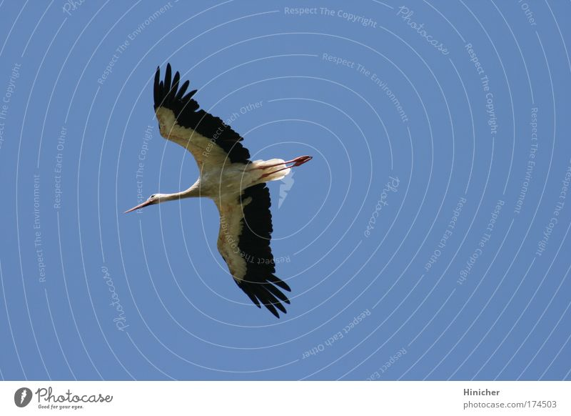 The Stork Colour photo Exterior shot Aerial photograph Copy Space right Neutral Background Day Sunlight Animal Air Sky Cloudless sky Wild animal Wing 1 Flying