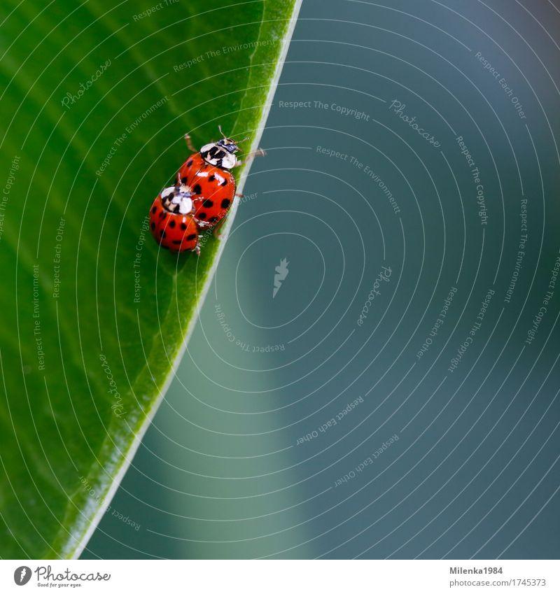 Nature Plant Leaf Animal Environment Love Happy Garden Together Park Wild animal Beetle Ladybird Love affair