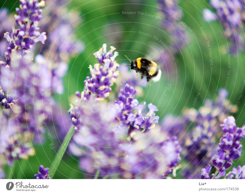 Sum the fat bumblebee Colour photo Exterior shot Detail Macro (Extreme close-up) Plant Flower Lavender Bee Bumble bee Insect 1 Animal Flying Yellow Green Violet
