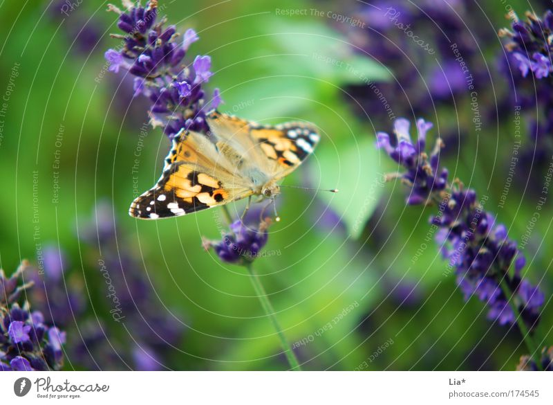 green-purple-yellow Colour photo Exterior shot Detail Macro (Extreme close-up) Plant Lavender Butterfly 1 Animal Crouch Multicoloured Yellow Green Violet