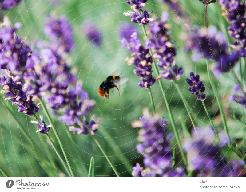 Plant Green Animal Movement Flying Trip Violet Insect Bee Ease Orientation Lavender Medicinal plant Bumble bee