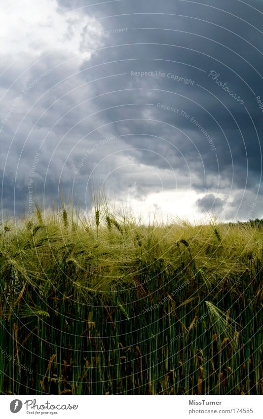 Thunderstorm over the cornfield Nature Landscape Clouds Storm clouds Plant Field Threat Dark Blue Green Black Fear Anger Environment Cornfield Colour photo