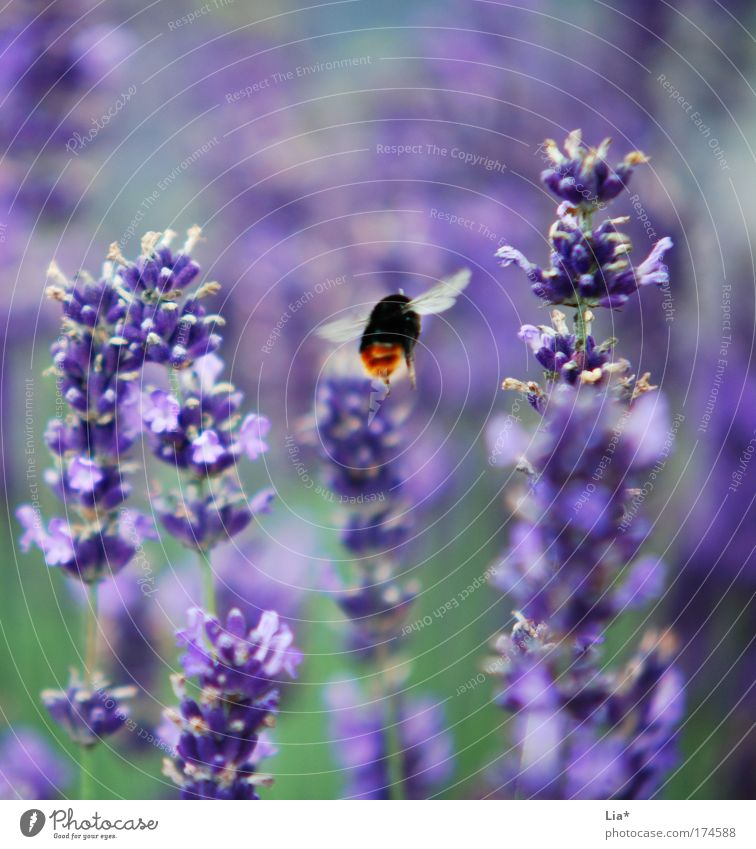Ssssssssssuuummmmm Colour photo Detail Macro (Extreme close-up) Plant Lavender Lavender field Bee Bumble bee wild bee Insect Flying Green Violet Aviation