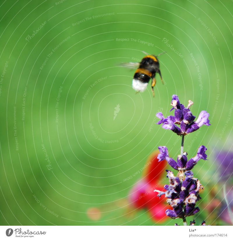 Next stop: Lavender Plant Bee Bumble bee Insect Flying Medicinal plant Spring Colour photo Detail Macro (Extreme close-up) Copy Space left Copy Space top 1