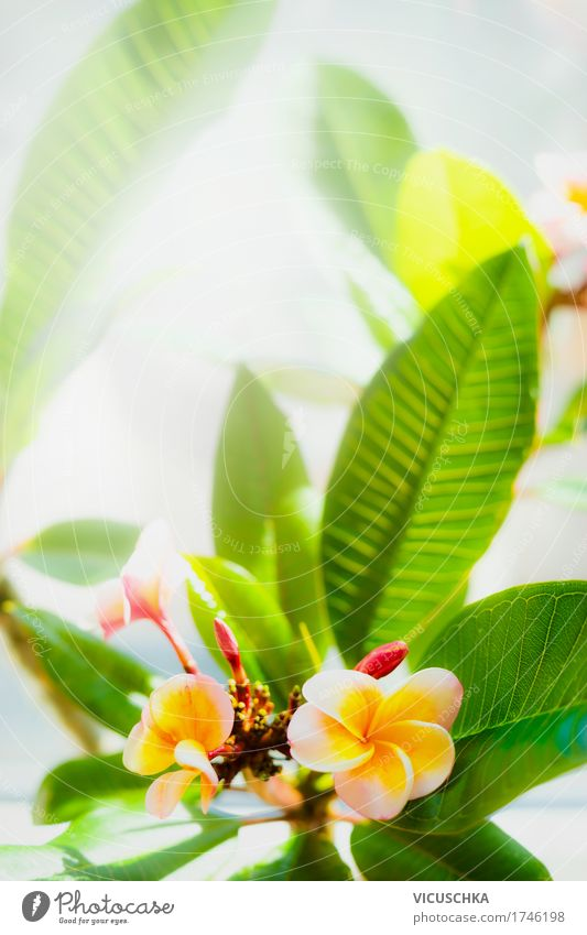 Topical Frangipani Flowers Design Summer Garden Nature Plant Sunlight Beautiful weather Leaf Blossom Park Yellow Pink Fragrance Thailand Tropical Exotic