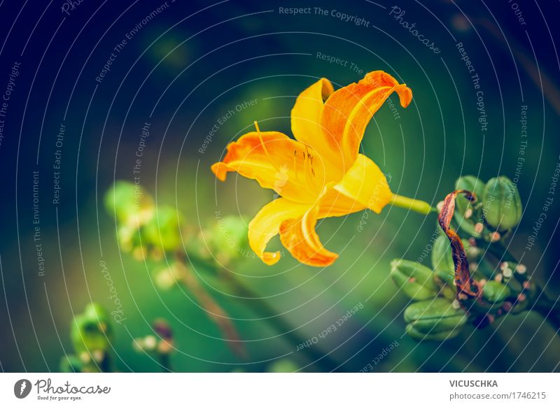 Day lily blossom in ridges Design Summer Garden Nature Plant Flower Leaf Blossom Park Yellow Pollen Daylily Beautiful Colour photo Exterior shot Close-up