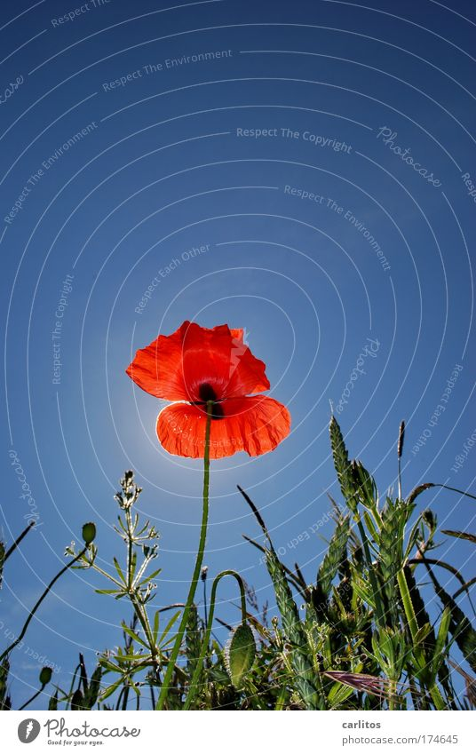 Sky Blue Green Summer Red Blossom Blossoming Beautiful weather Poppy Grain field